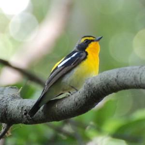 Narcissus Flycatcher. Photo by Kuribo