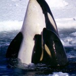 """Mother-calf pair of """"Type C"""" killer whales in the Ross Sea. Photo by Robert Pitman"""