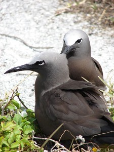Brown Noddy. Photo by Forest and Kim Starr